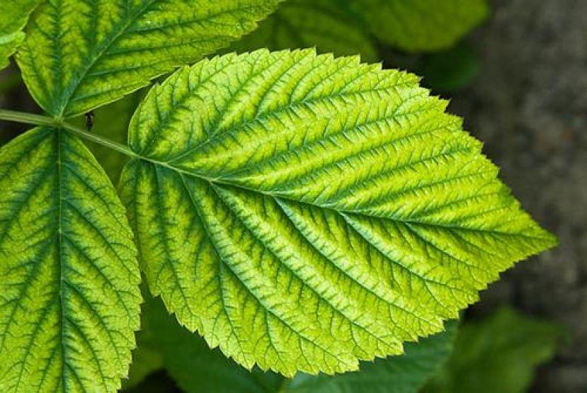Διαταραχές θρέψης φυτών (τροφοπενίες,τοξικότητες) - Φωτογραφίες φύλλων για να γνωρίζετε να τις αντιμετωπίσετε