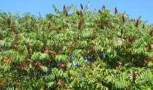 Δενδρώδη / θαμνώδη μικρότερης οικονομικής σημασίας: Το Ρούδι ή Σουμάκι (Rhus coriaria L.)