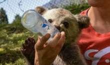 Λουίτζι, το ορφανό αρκουδάκι στη φροντίδα του Αρκτούρου - Βρέθηκε στο Αμύνταιο και του αρέσει να παίζει μπάλα (video)