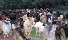 Πρόβατα και Γίδια - Πως ονομάζονται