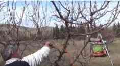 Κλάδεμα ενήλικου δένδρου βερικοκιάς (Βίντεο)