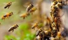 Οι μέλισσες της Εύβοιας «μεταναστεύουν» – Σε κίνδυνο τα έντομα ολόκληρου του πλανήτη (Βίντεο)