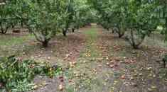 H κλιματική αλλαγή καταστρέφει τη ροδακινοκαλλιέργεια (Video) - Τις πληγές τους μετρούν οι παραγωγοί (Photos)
