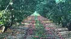 Πότε θα δοθούν οι αποζημιώσεις από τις βροχοπτώσεις του Ιουλίου στους ροδακινοπαραγωγούς (Βίντεο)
