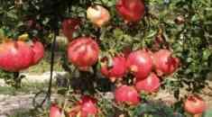 Καλλιέργεια Ροδιάς - Ποικιλίες και καλλιεργητικές φροντίδες