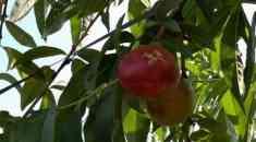Ολική καταστροφή σε καλλιέργειες από το χαλάζι στην Ημαθία (Βίντεο & φωτογραφικό υλικό)